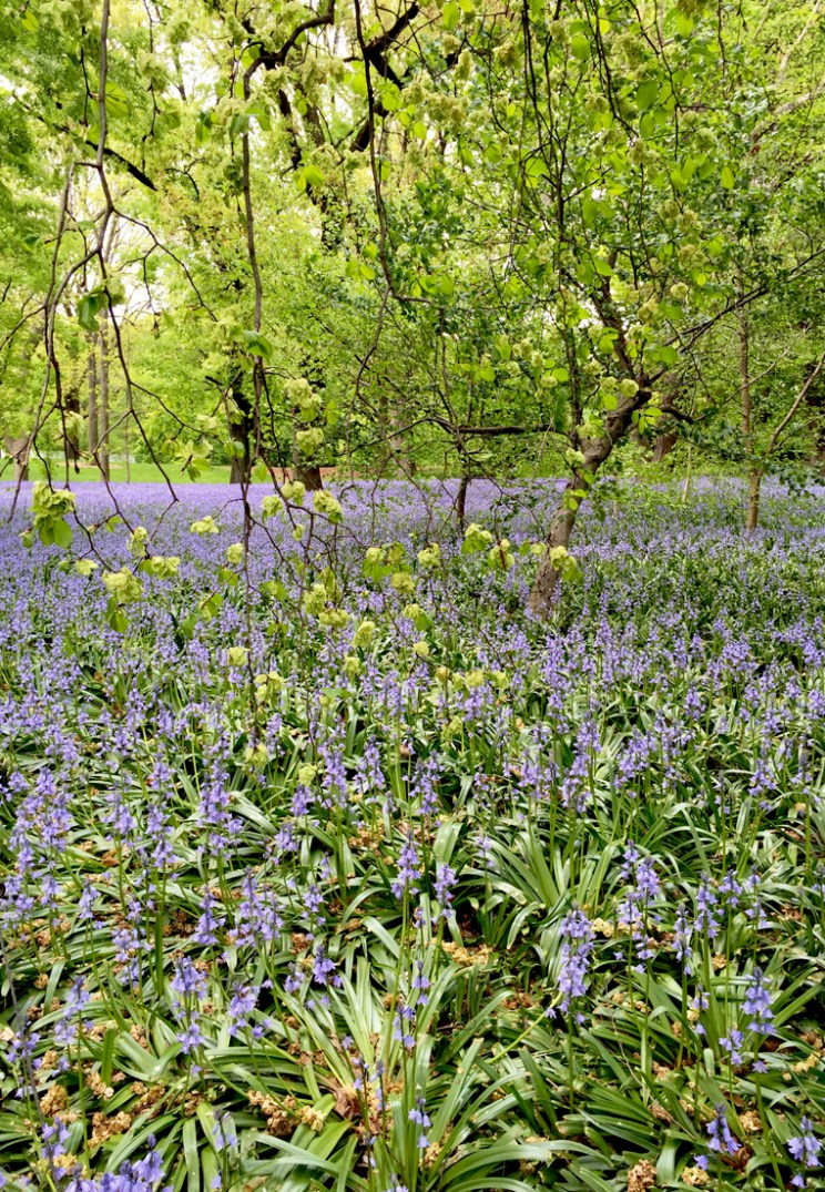BBG Field of Bluebells