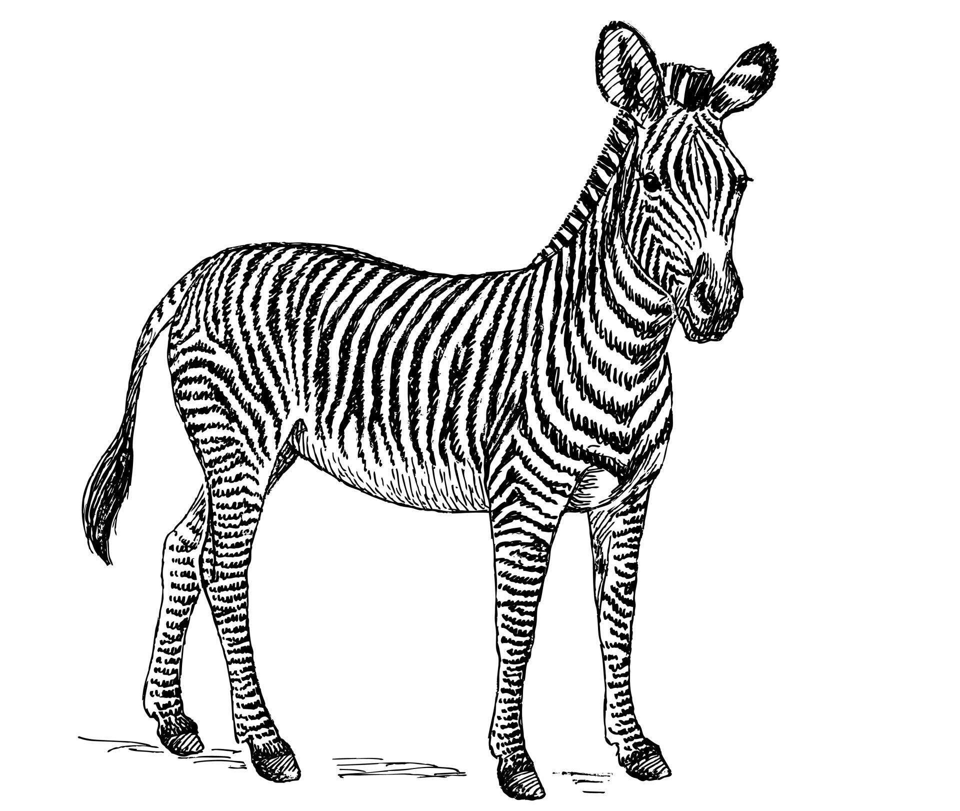 Zebra Clipart 2 Gclipart