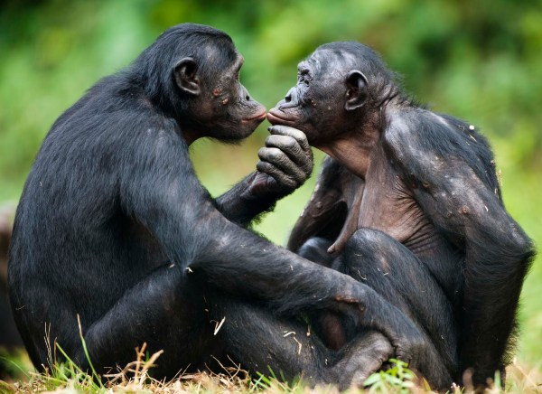 two bonobos kissing