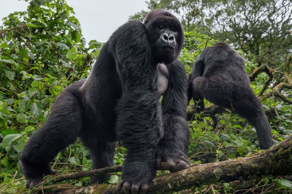 two gorillas in the forest