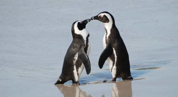Penguins touching beaks