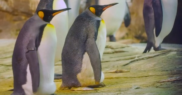 same-sex Emperor penguin couple Skipper and Ping pictured minding the egg