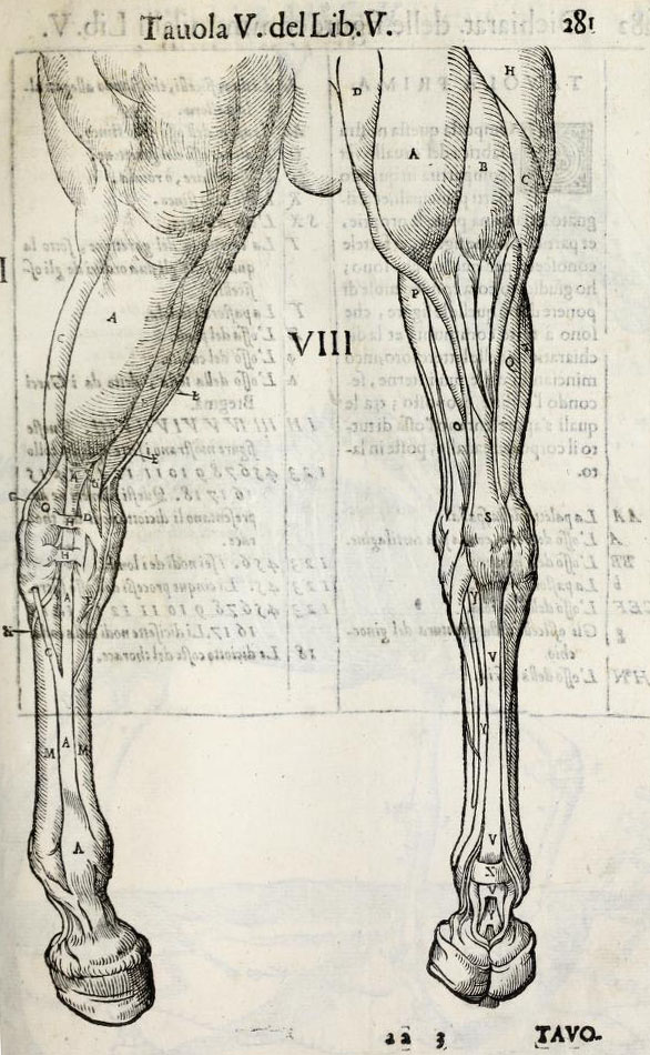 anatomia-caballo-carlo-ruini-page-281
