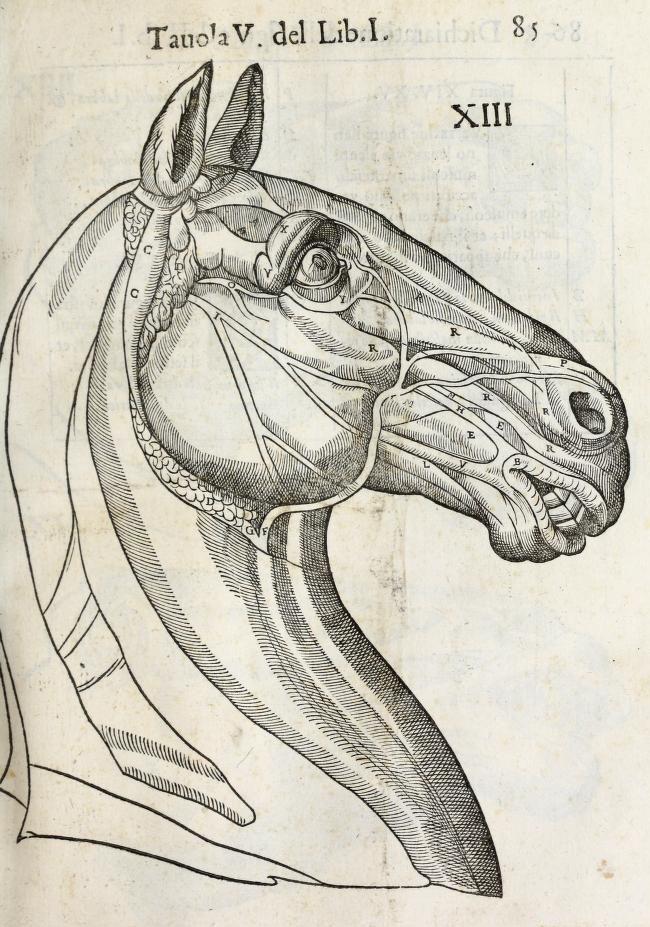 anatomia-caballo-carlo-ruini-page-85