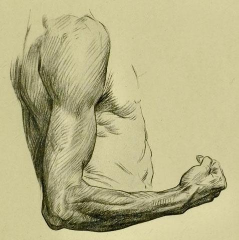 anatomia-humana-para-artistas-lado-exterior-del-brazo-derecho