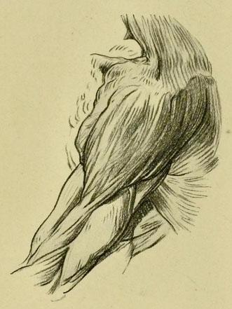 anatomia-humana-para-artistas-detalle-del-musculo-del-hombro