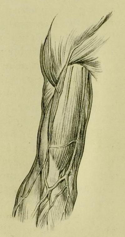 anatomia-humana-para-artistas-vista-frontal-del-brazo-sus-musculos-y-venas-superficiales