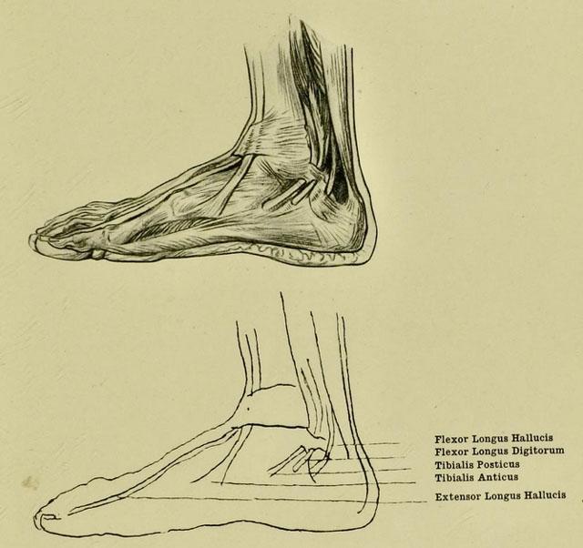 anatomia-humana-para-artistas-tendones-del-tobillo-y-el-pie