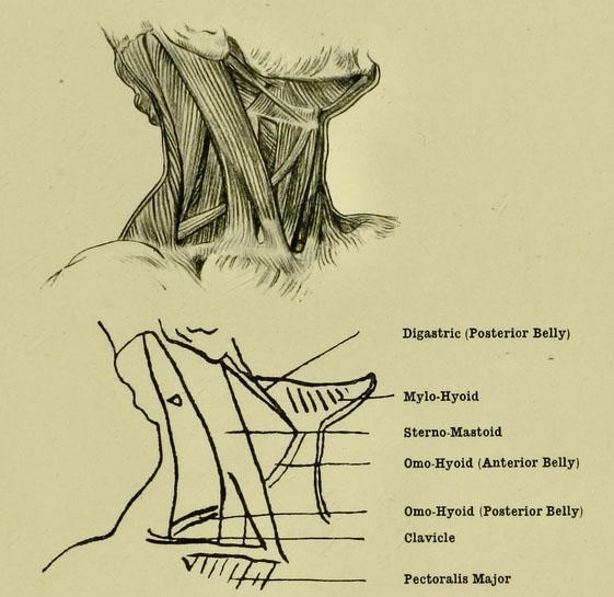 anatomia-humana-para-artistas-los-musculos-del-cuello