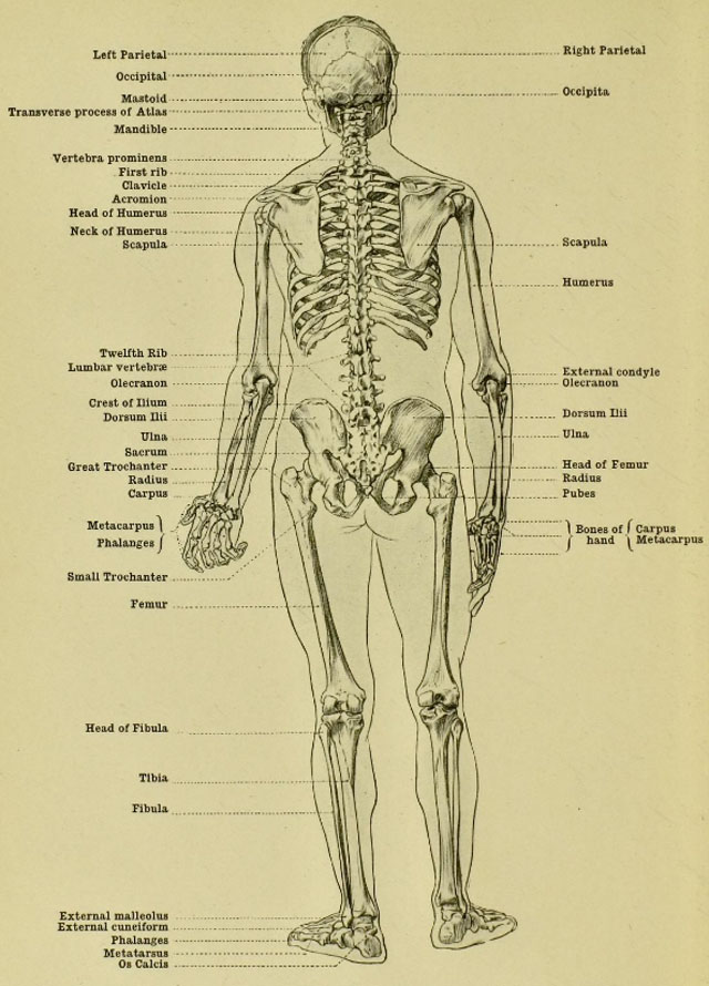 anatomia-humana-para-artistas-esqueleto-masculino-vista-posterior