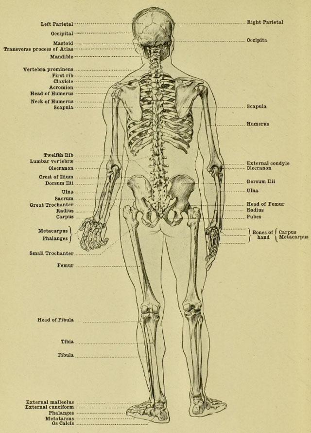 130 - Anatomía Humana para Artistas - Gcomics