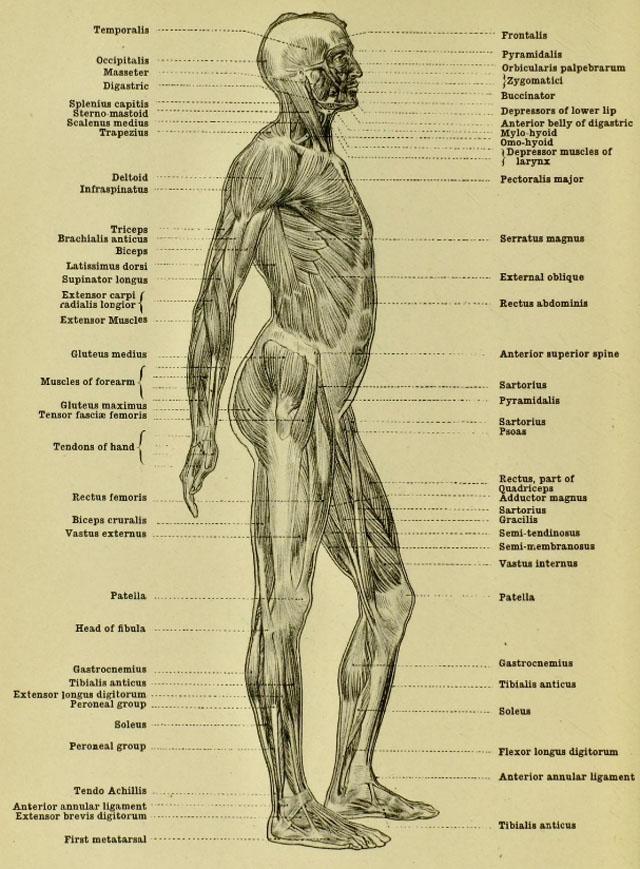 anatomia-humana-para-artistas-musculos-del-cuerpo-vista-lateral