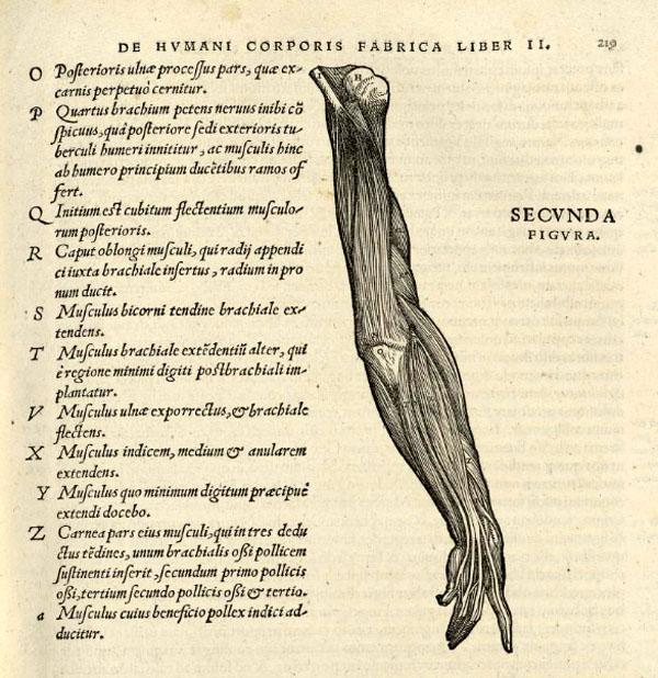 de-humani-corporis-fabrica-detalle-brazo