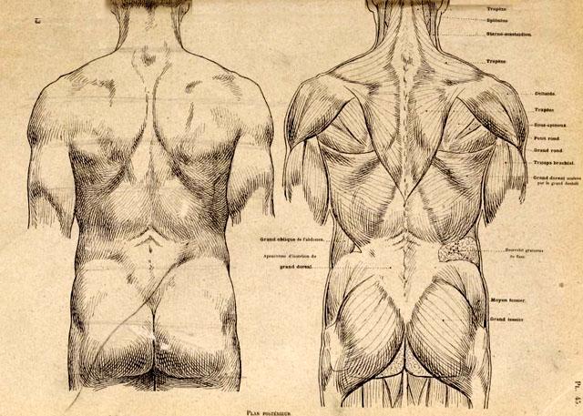 anatomia-artistica-hombre-paul-richer-torso-dorso-musculatura