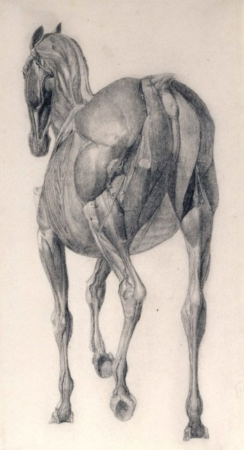 george-stubbs-caballo-anatomia-muscular