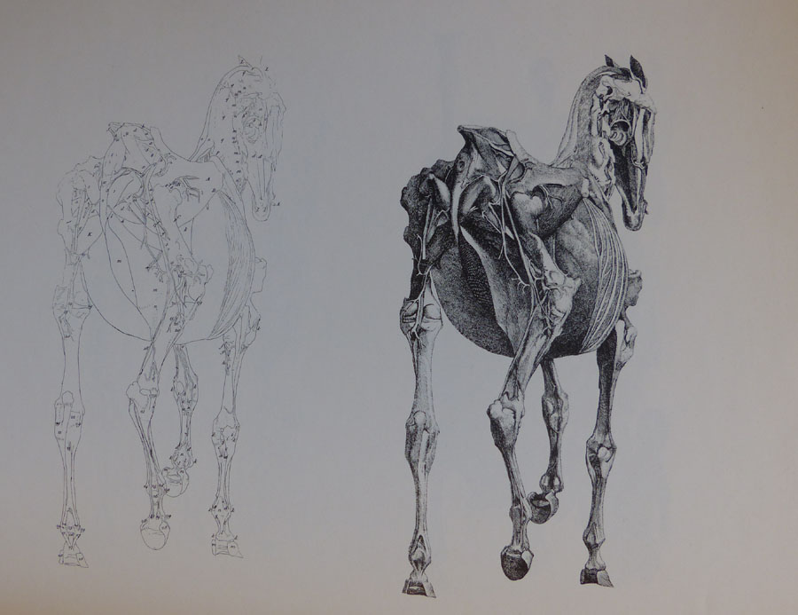 George Stubbs. The Anatomy of the Horse. London 1766, Vol 4. Plate 18