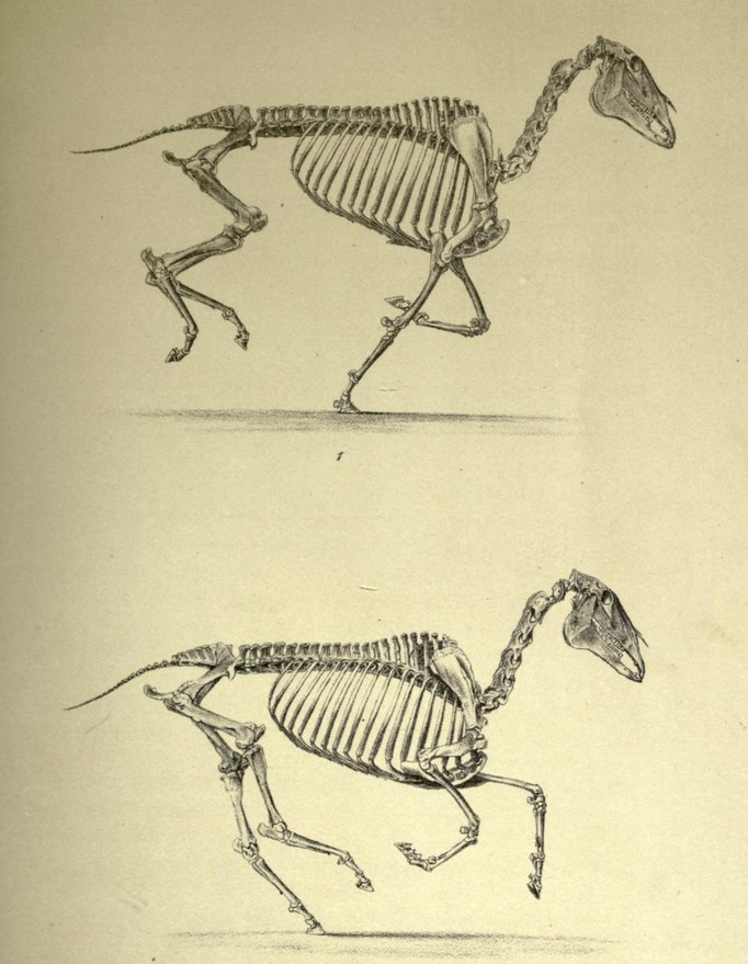 el-movimiento-del-caballo-muybridge-esqueleto-en-movimiento