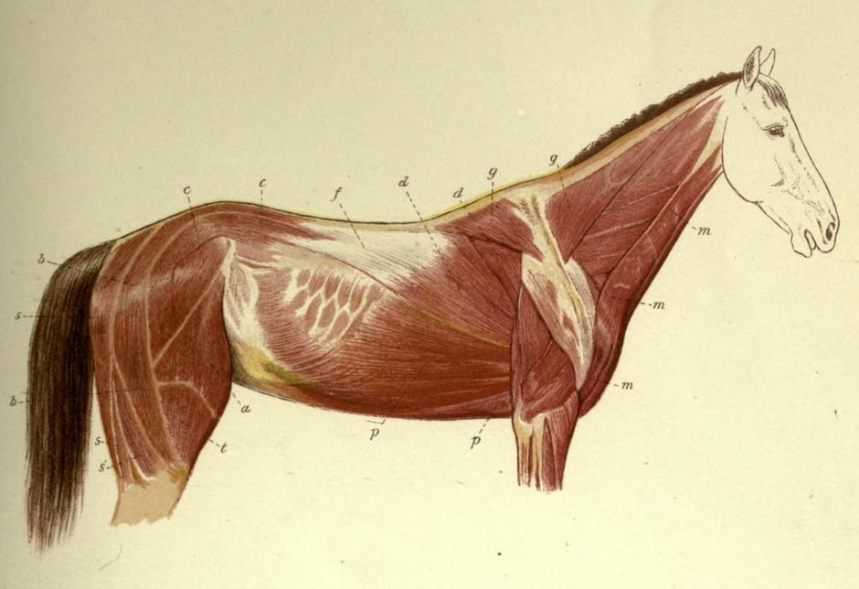 el-movimiento-del-caballo-muybridge-musculatura