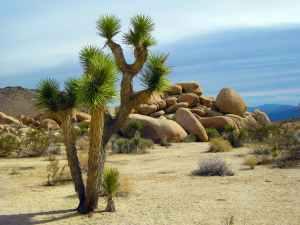 Joshua Tree near Palm Springs, California