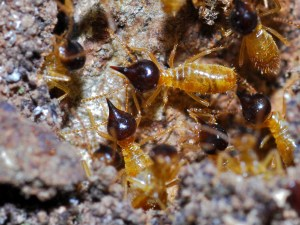 Conehead Termite Soldier