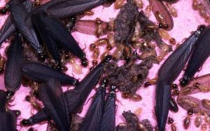 Conehead Termite Swarmers