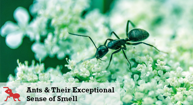 Ants And Their Exceptional Sense of Smell