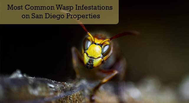 Most Common Wasp Infestations on San Diego Properties