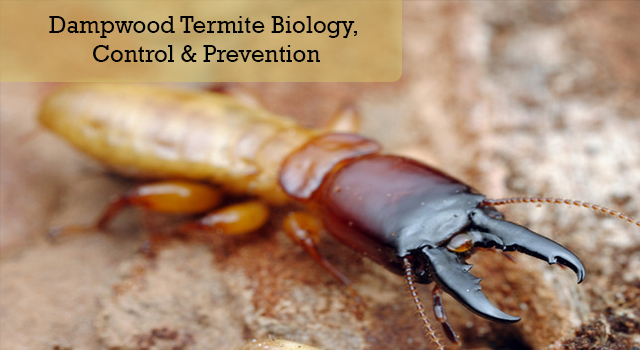 Dampwood Termite Biology, Control & Prevention
