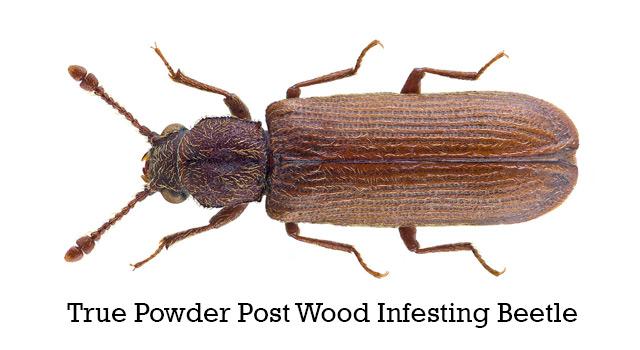 True Powder Post Wood Infesting Beetles