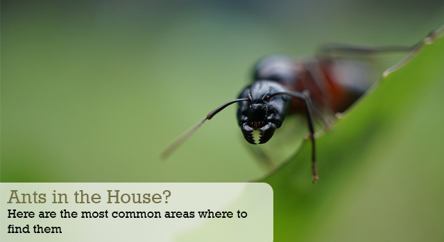 Ants in the House? Here are the most common areas where to find them