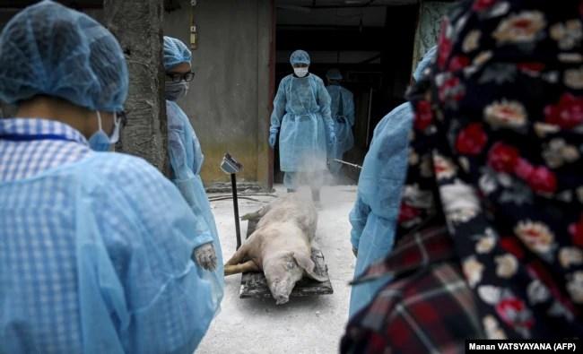 Disa veterinarë dhe zyrtarë shëndetësorë duke kontrolluar një derr të ngordhur, me qëllim të parandalimit të gripit të derrave. Foto nga arkivi.