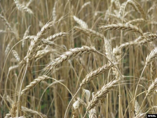 Крим, пшеничне поле