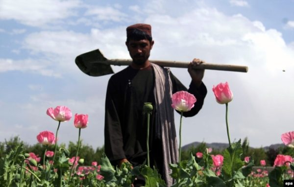 Посевы афганского мака в провинции Гильменд. Весна 2021 года