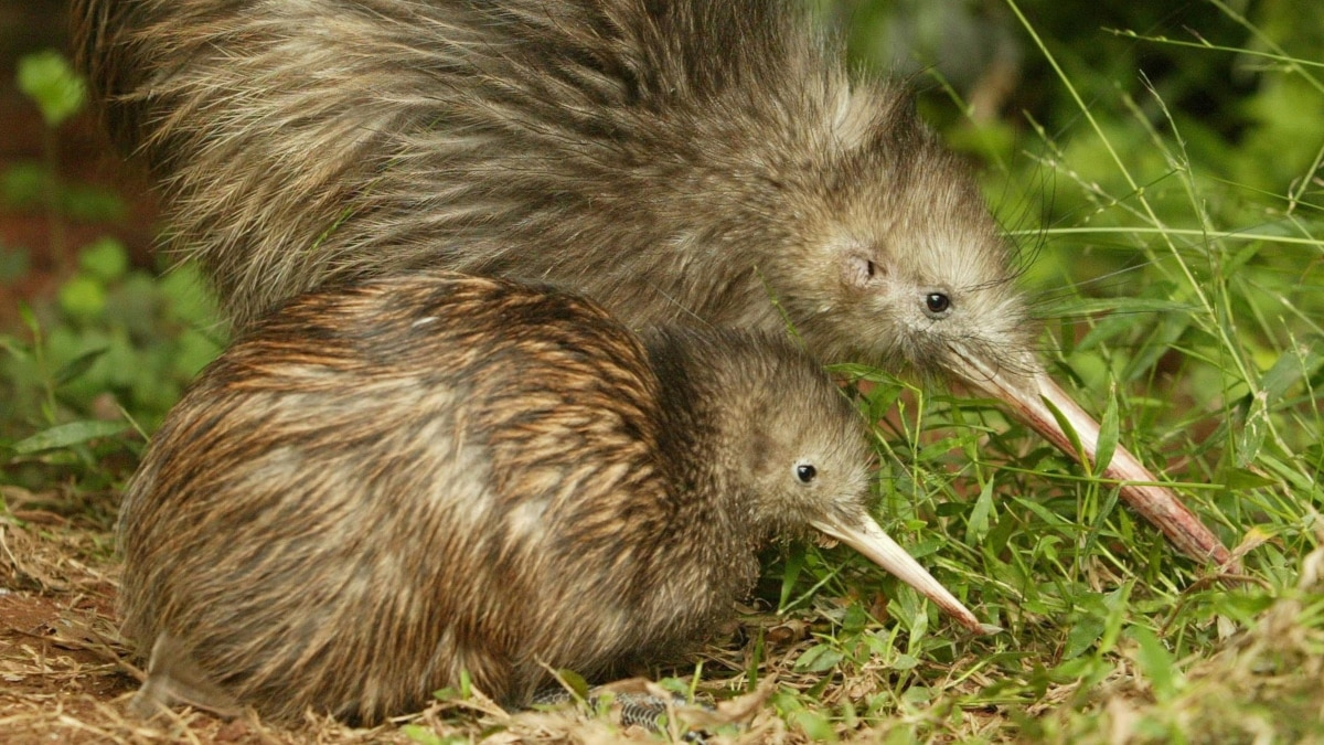 Conservation Group Sees Better Future For Two Kiwi Birds