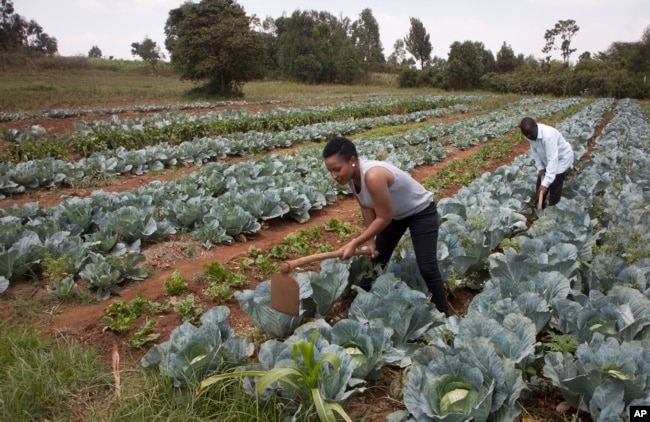 Former reality show contestant Leah Wangari cultivates cabbages at an agricultural training farm in Limuru, near the capital Nairobi, Kenya, Jan. 17, 2018.