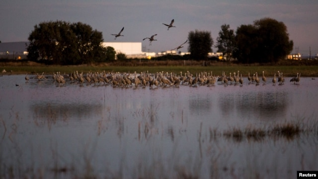 Sandhill cranes land in flooded fields at the Sandhill Crane Reserve near Thornton, California, Nov. 3, 2015. The state's ongoing drought has left millions of waterfowl that migrate from northern climes to California with fewer places to land, seek food.