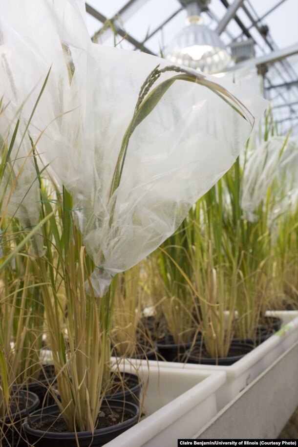 Rice plants being studied to increase photosynthesis. (Credit Claire Benjamin/U. of Illinois)