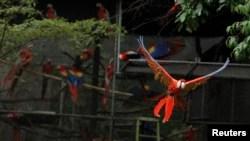 Burung-burung jenis Scarlet macaw bisa dilatih untuk terbang dan kembali ke pemilik mereka (foto: ilustrasi).