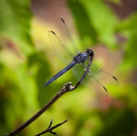 Dragonfly (Lac Monette)