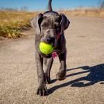 Great Dane Puppy Information