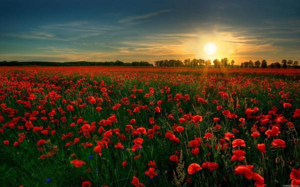 Скачать обои Поле, цветы, мак, солнце на рабочий стол ...