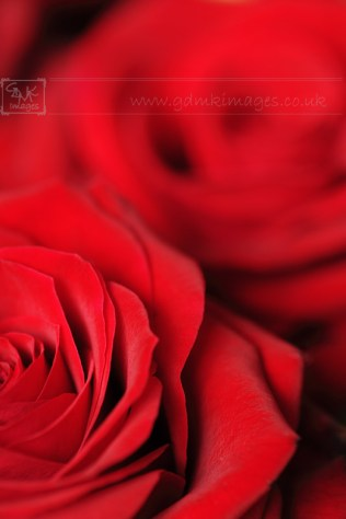 Red roses everlasting symbol love and romance