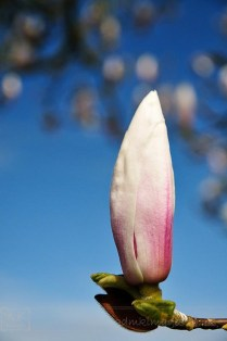 magnolia tree flower bud against blue sky