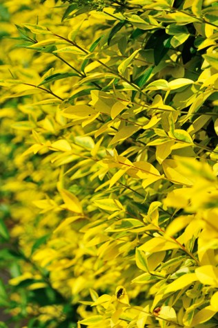 Weekly Colour Project - Yellow Hedge