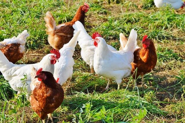 Maksimalkan Hasil Pertanian, Dengan Cara Ternak Ayam Petelur Paling Efektif