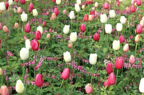 Как красиво посадить тюльпаны в саду — как красиво ...