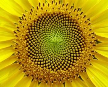 Spirale Girasole