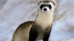 Your Ferret Doesn't Want to Run!