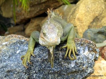 05-geardiary-aruban-iguanas-004