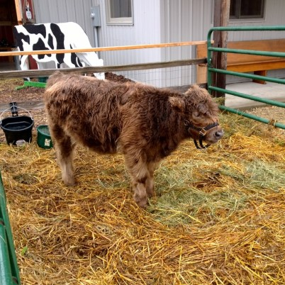 A tiny Highland Cow at Fresh picked apples at Nesbitt's Orchard in Prescott, Wisconsin